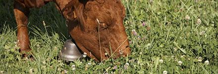 L'alimentation des boeufs et des génisses de race à viande