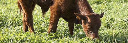 L'alimentation des jeunes bovins ou taurillons