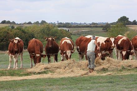 L'alimentation des bovins