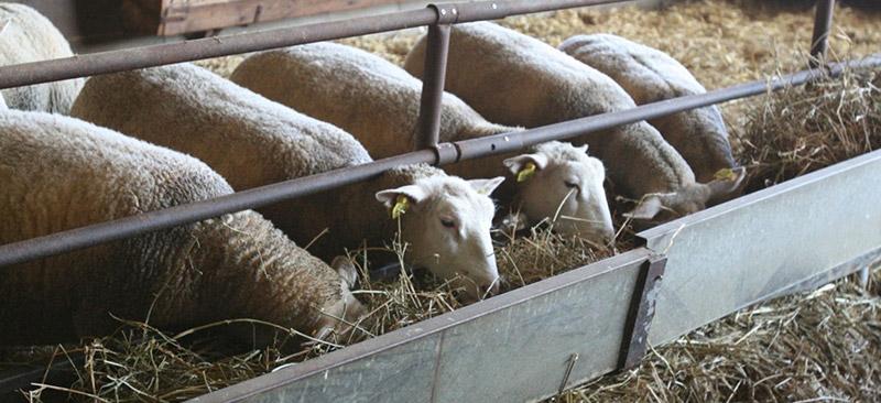 Alimentation des ovins - Les fourrages