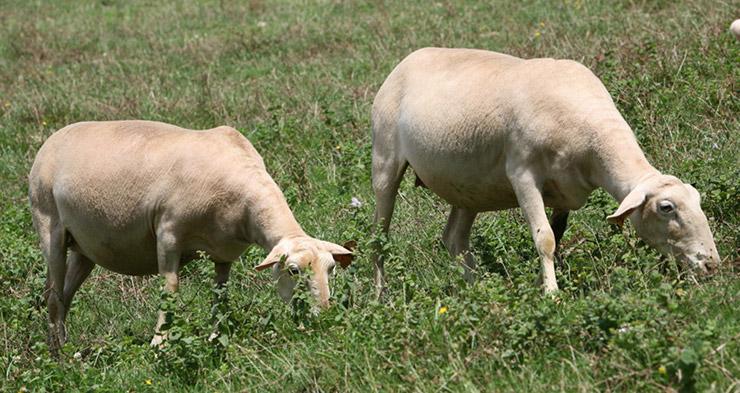 Alimentations des ovins
