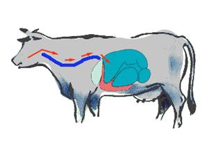 La rumination chez le bovin la panse