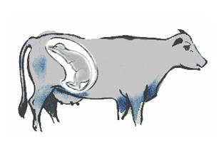 Le vêlage la mise bas chez le bovins