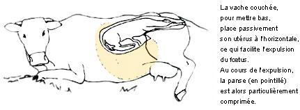 vêlage gestation bovin