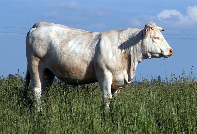 Races à viande - La Charolaise