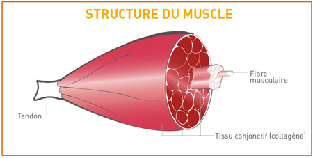 structure du muscle maturation de la viande