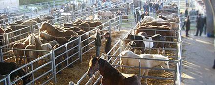 La filière française de viande de cheval