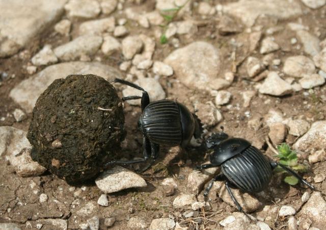 Les coléoptères, permettent l'intégration progressive des bouses qui viennent fertiliser les sols des pâtures.