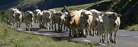 La transhumance une tradition d'élevage adaptée au territoire