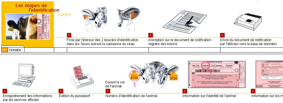 Etapes traçabilité identification des bovins