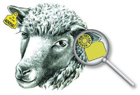 Boucles d'identification des ovins