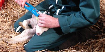 Pose d'une boucle à un agneau - identifications des ovins