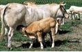 Surveillance de l'ESB chez les animaux
