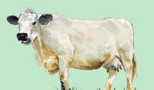 British White Cattle